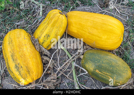 Pumpkin portraits -yellow and green - Pumpkin Patch in Autumn, Portugal - Stock Image