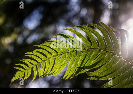 Sunlight shines through a sword fern frond (Polystichum munitum); Astoria, Oregon, United States of America - Stock Image