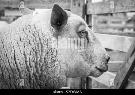 Prize animal in summer show - Stock Image