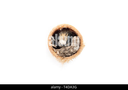 Male mason bee looking out of its bee tube - on a white background - Stock Image