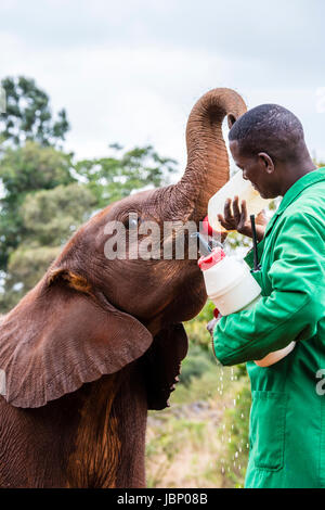 Rescued African Elephant Calf, Loxodonta africana, drinking milk from a bottle held  by a keeper, Sheldrick Elephant - Stock Image