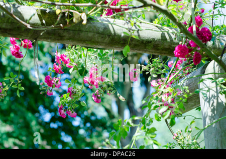 Pristine pink roses in an English garden - Stock Image