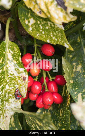 Red berries and leaves from Aucuba japonica (Spotted Laurel, Japanese Laurel, Spotted Acuba, Japanese Aucuba, Gold Dust Plant) in Winter in the UK. - Stock Image