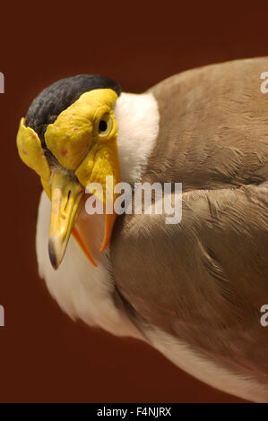 Closeup Portrait of a Masked lapwing / Masked Plover, (Vanellus miles). - Stock Image