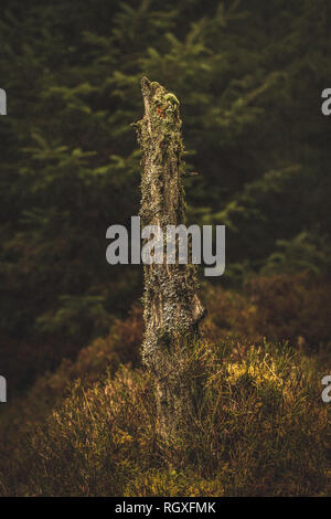 Old decaying remains of a tree trunk in Wicklow National Park, Ireland - Stock Image