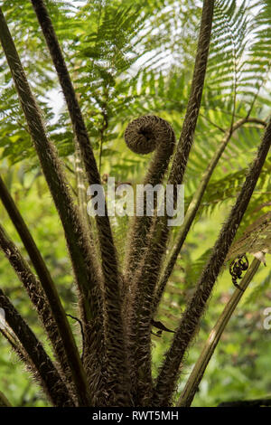 Young fonds unfurling on the Dicksonia Antartica tree fern taken in Madeira Portugal. - Stock Image