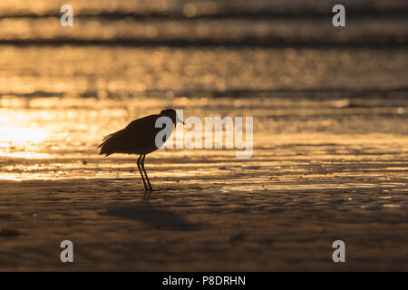 Silhouette of a Masked Lapwing (Vanellus miles) wading on the beach at dawn, Cape York Peninsula, Far North Queensland, FNQ, Australia - Stock Image
