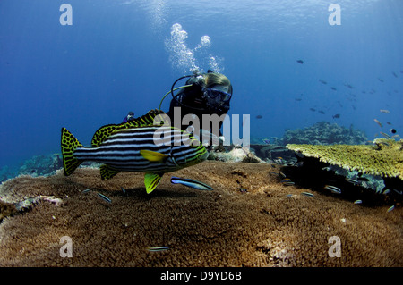 Scuba diver watching an Oriental sweetlips (Plectorhinchus vittatus) being cleaned over large table coral, Vaavu - Stock Image