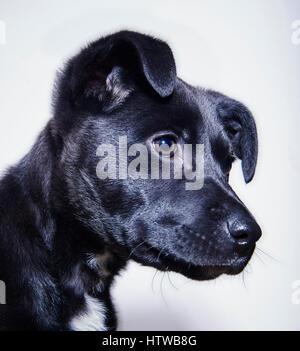 Black mixed breed puppy in studio profile portrait - Stock Image