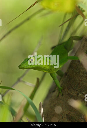 Jamaican Giant Anole (Anolis garmani) adult clinging to tree trunk  Manchester, Jamaica          December 2014 - Stock Image