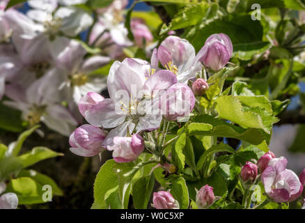 Blossoming Apple Tree in Spring - Stock Image