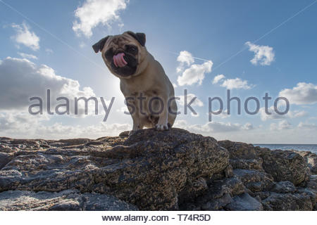 Mousehole, Cornwall, UK. 4th May 2019. UK Weather. Titan the Pug out for his morning walk in the sunshine on the seafront. Credit Simon Maycock / Alamy Live News. - Stock Image