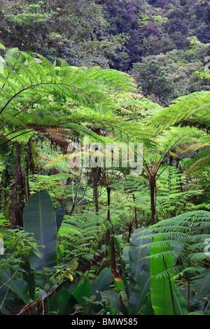 Caribbean, St Lucia, Des Cartier Trail, Tropical Rainforest - Stock Image