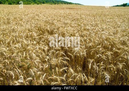 Rich wheat harvest. - Stock Image