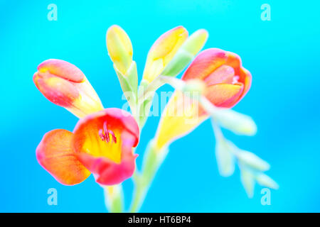 striking and colourful red freesia stem on blue background still life - as sweet as its fragrance  Jane Ann Butler - Stock Image