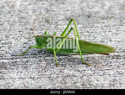 Female European Great Green Bush Cricket (Tettigonia viridissima) in closeup. - Stock Image
