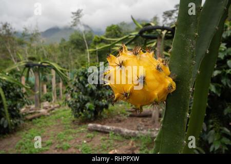 A Yellow Dragon Fruit or Pitaya (Pitahaya) growing on Dragon Fruit Cactus among coffee bushes in a tropical plantation in Peru - Stock Image
