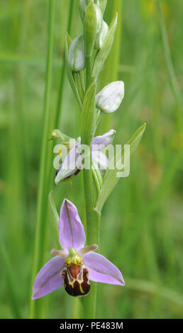 Flower spike of a Bee Orchid (Ophrys apifera). Rye Harbour Nature Reserve. Rye, Sussex, UK - Stock Image