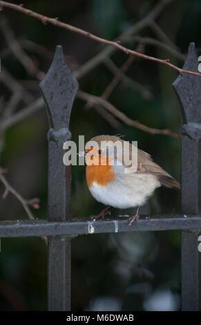 European Robin or Eurasian Robin, (Erithacus rubecula), perched on railings, Regents Park, London, United Kingdom - Stock Image