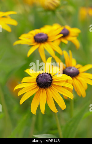 Rudbeckia - Coneflower, Black Eyed Susan - July - Stock Image