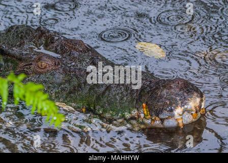 Saltwater Crocodile in Queensland, Australia - Stock Image