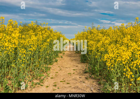 A track though a field of flowering oil seed rape in sunshine under a blue sky - Stock Image