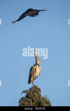 Close-up view of wild, British grey heron bird (Ardea cinerea) isolated, perched up high in UK tree top, being bothered by annoying crow. - Stock Image