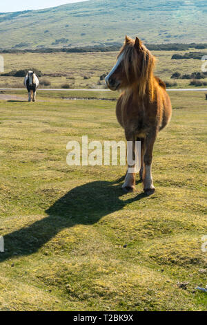 Black and white and chestnut  mountain ponies Hay-on-Wye Powys UK. March 2019 - Stock Image
