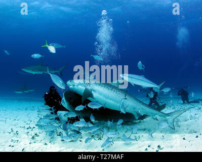 Two Tiger Sharks and Some Caribbean Reef Sharks Close on a Diver. Tiger Beach, Bahamas - Stock Image