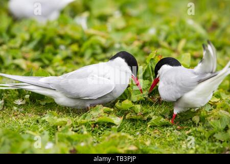 Arctic Terns, Sterna paradisaea nesting on the Farne Islands, Northumberland, UK. - Stock Image