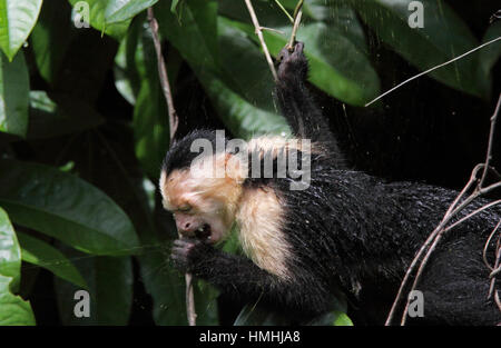 White-faced Capuchin Monkey (Cebus capucinus) eating a Golden Orb Spider (Nephila clavipes) from its web, Tortuguero - Stock Image