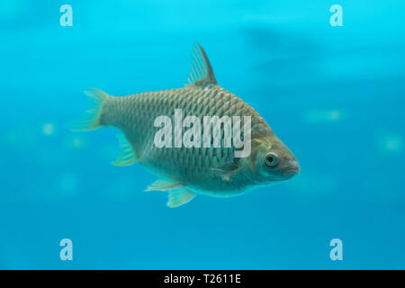 A big carp fish in underwater blue water background. - Stock Image