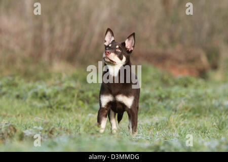 Dog Working Kelpie  young standing in a meadow - Stock Image