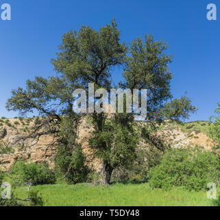 Tall oak tree stands in the midst of a narrow rock valley in southern California. - Stock Image