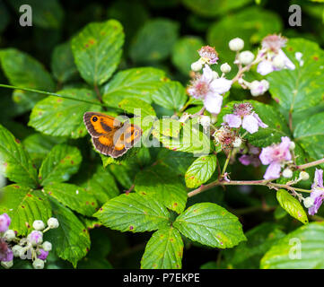 Gatekeeper butterfly (Pyronia tithonus) on pink blackberry bushes in Combe Valley, East Sussex, England - Stock Image