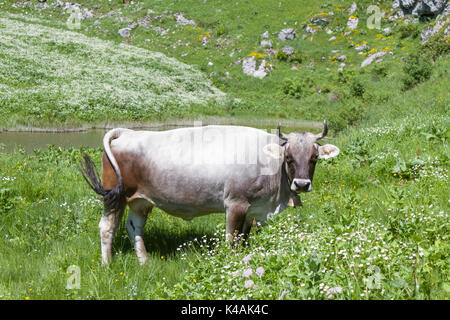Cow Spends Alpine Summer On A Mountain Meadow In The Bavarian Alps - Stock Image