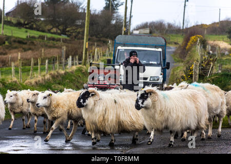 Ardara, County Donegal, Ireland. 19th March 2019. A farmer moving sheep to new pasture as the weather warms up on the north-west coast. Credit: Richard Wayman/Alamy Live News - Stock Image