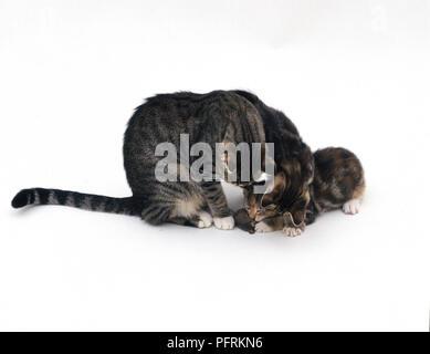 Litter Investigate Dead Mouse - Stock Image