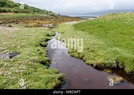 Tide pool on saltmarsh with Sea Pinks or Thrift (Armeria maritima) flowers flowering in summer. Isle of Mull, Hebrides, Western Isles, Scotland, UK - Stock Image