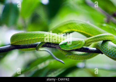 Thailand, Nakhon Ratchasima, Khao Yai.  White-lipped viper in the Khao Yai National Park. - Stock Image