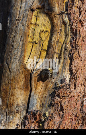 Part of letters and heart carved in the inner bark of an old Ponderosa pine tree, Gateway Mesa Open Space Park, Castle Rock Colorado US. - Stock Image
