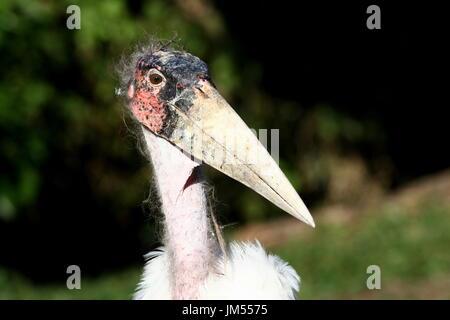 Close-up of an African Marabou Stork (Leptoptilos crumeniferus). - Stock Image