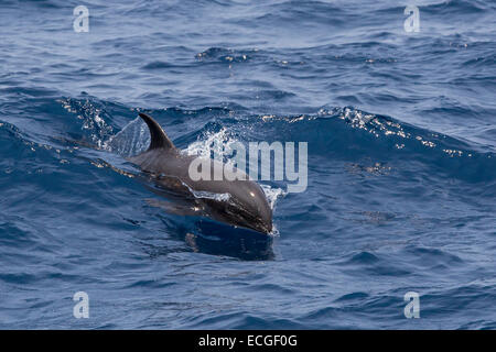 Melon-headed Whale, Peponocephala electra, Breitschnabeldelfin, surfacing, Indonesia, adult - Stock Image