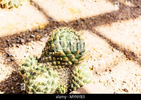 Rhinoceros Cactus, Coryphantha cornifera, Coryphantha echinus, biznaga partida erizo, Rhinoceros Cacti, Mexican cacti, Mexican Cactus, Cactus, plant - Stock Image