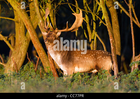 Fallow Deer (Dama dama), Buck at wood edge during rut, Royal Deer Park, Klampenborg, Copenhagen, Sjaelland, Denmark - Stock Image