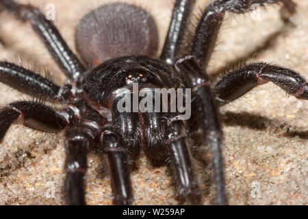 Sydney funnel-web spider Atrax rubustus - Stock Image
