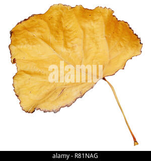 Yellow dry leaf isolated on white background - Stock Image