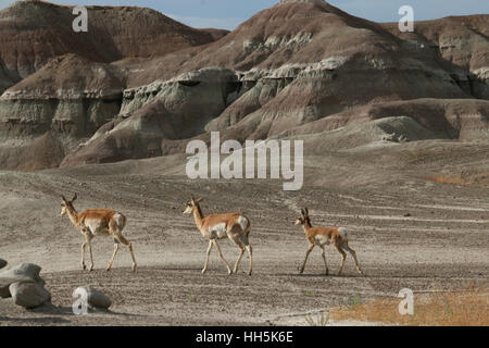 Pronghorn antelope Utah Great Basin desert young - Stock Image
