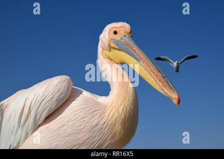 zoology, birds (Aves), Great White Pelican (Pelecanus onocrotalus) next to Pelican Point, lagoon of Wa, Additional-Rights-Clearance-Info-Not-Available - Stock Image