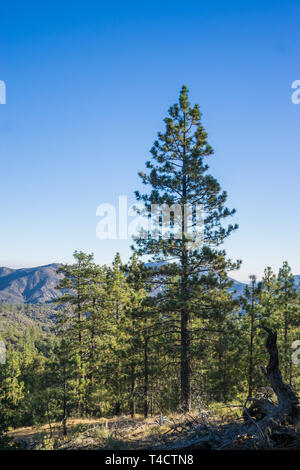 Tall green pine tree stands above forest trees in National Forest. - Stock Image